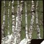 Green Birch Trees by Denali